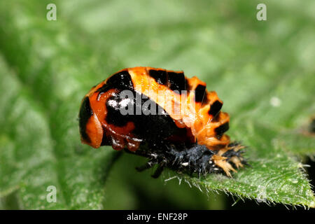 Harlequin Ladybird - Harmonia axyridis - pupa - Stock Photo