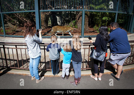 People watch Chinese-Leopard pacing at the Paris Zoo - Stock Photo