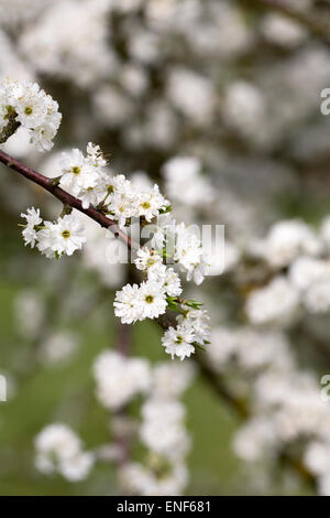 Prunus spinosa 'Plena'. Blackthorn flowers in Spring. - Stock Photo