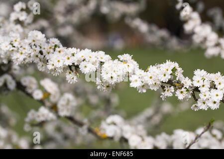 Prunus spinosa 'Plena'. Blackthorn flowers in Spring. - Stock Photo