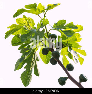 Green figs ripening on a fig tree on white background - Stock Photo
