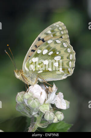 Dark Green Fritillary - Argynnis aglaja - Stock Photo