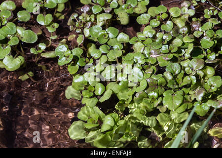 close up of wild watercress growing on the creek banks in Arizona - Stock Photo