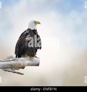 Bald Eagle Perched On A Log - Stock Photo