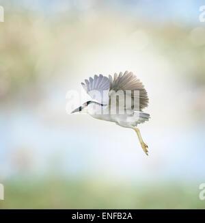 Black-crowned Night Heron In Flight - Stock Photo