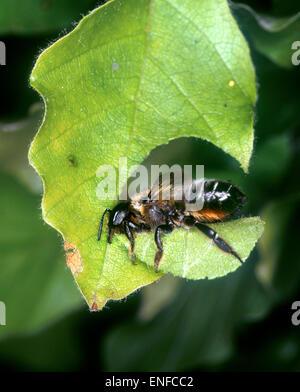 Leaf-cutter Bee - Megachile centucularis - Stock Photo