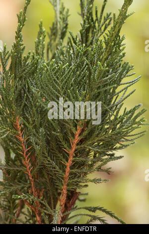 Chinese juniper (Juniperus chinensis) tree on natural background - Stock Photo