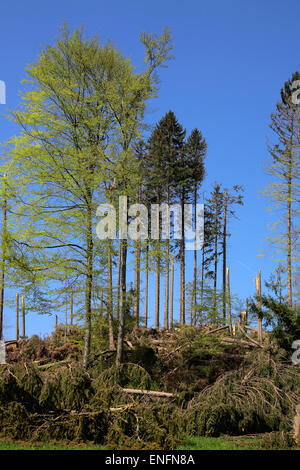 Wind breakage, mixed forest, Ebersberg, Bavaria, Germany - Stock Photo