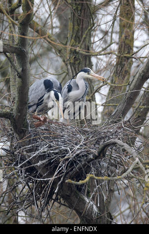 Grey heron, Ardea cinerea, two birds at nest, Herts, March 2015 - Stock Photo