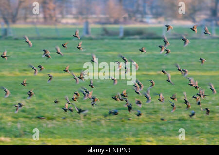 Common Starlings (Sturnus vulgaris), flock flying over a meadow, Thuringia, Germany - Stock Photo