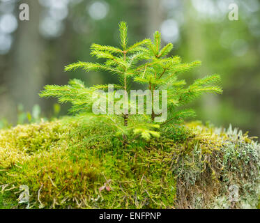 Young Norway Spruce trees (Picea abies), growing on moss, Harz National Park, Lower Saxony, Germany - Stock Photo