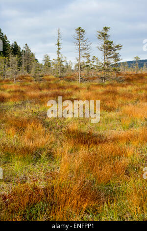 Bodebruch raised bog in autumn, Harz National Park, Lower Saxony, Germany - Stock Photo