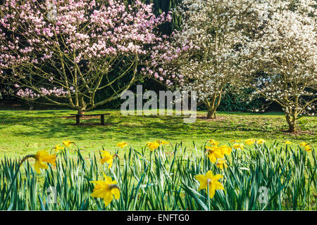 Magnolia trees and daffodils at Bowood House in Wiltshire. - Stock Photo