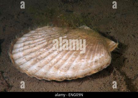 Yesso scallop, Giant Ezo scallop, or Ezo giant scallop (Mizuhopecten yessoensis) Sea of Japan (East sea) - Stock Photo