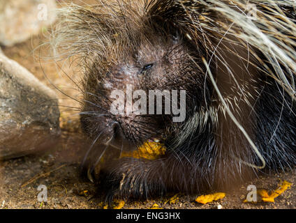 Crested Porcupine (Hystrix Cristata), Laikipia County, Mount Kenya, Kenya - Stock Photo