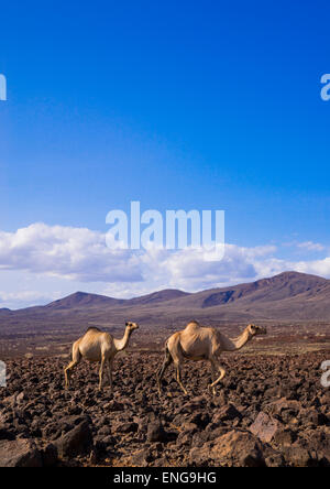 Camel Herd On Volcanic Rocks, Turkana Lake, Loiyangalani, Kenya - Stock Photo