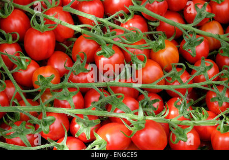 red tomatoes grown on vine - Stock Photo