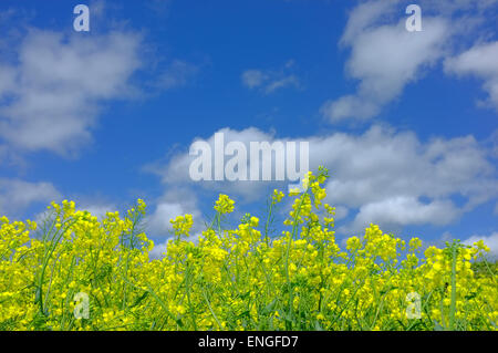 yellow rapeseed flowers against blue sky - Stock Photo