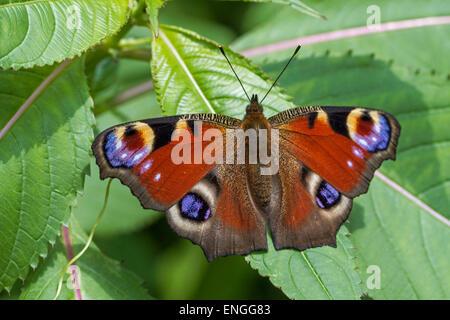 European peacock butterfly (Aglais io) on leaf - Stock Photo