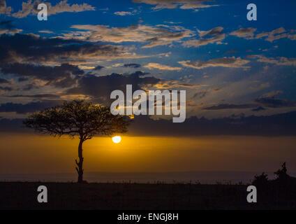 Umbrella Thorn Acacia At Sunset, Rift Valley Province, Maasai Mara, Kenya - Stock Photo