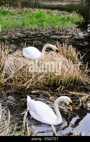 Female swan sits on a number of eggs on her nest as her male swims around to guard. - Stock Photo