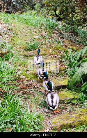Four male mallard ducks walkin up steps through a forest in a line - Stock Photo