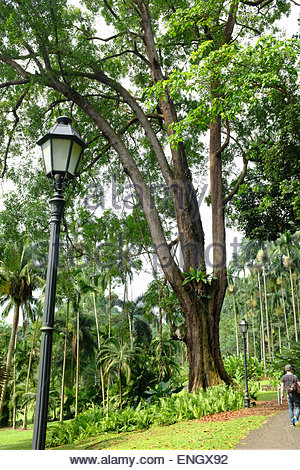 the tembusu tree at the botanic On february 11, a 40m-tall tembusu tree uprooted at the singapore botanic  gardens and killed a 38-year-old woman.