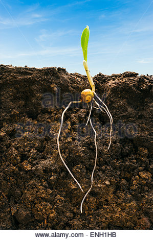 A young corn seedling emerges from the soil showing it's root structure below ground. - Stock Photo