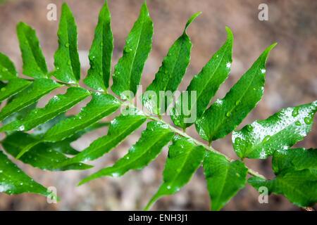 Japanese Holly Farn (cyrtomium falcatum) - Stock Photo