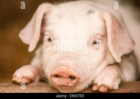 Gloucester Old Spot piglet portrait as it curiously leans on a board in its outdoor home, in Carnation, Washington, - Stock Photo