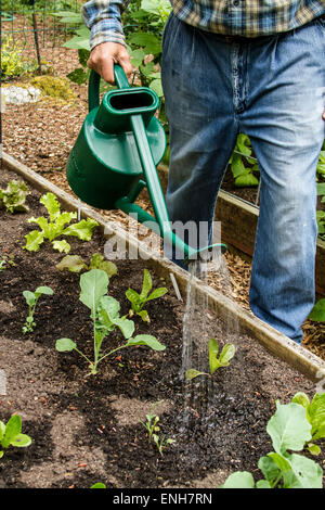 Retired man hand watering his lettuce starts in Issaquah, Washington, USA - Stock Photo