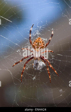 Garden orb-weaving spider - Stock Photo
