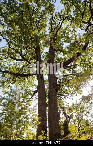 Oak trunks (Quercus robur) - Stock Photo