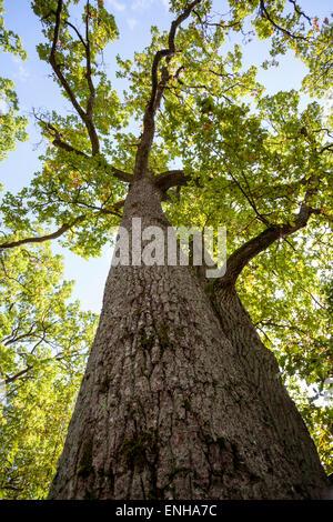 Oak trunk (Quercus robur) - Stock Photo