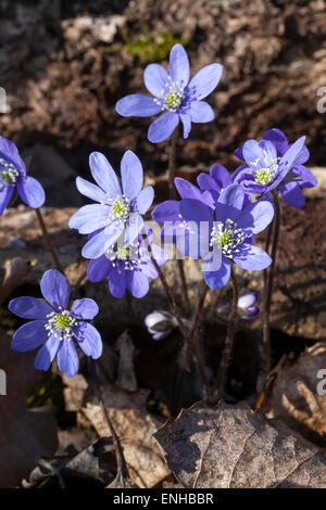 Common hepatica (Anemone nobilis)