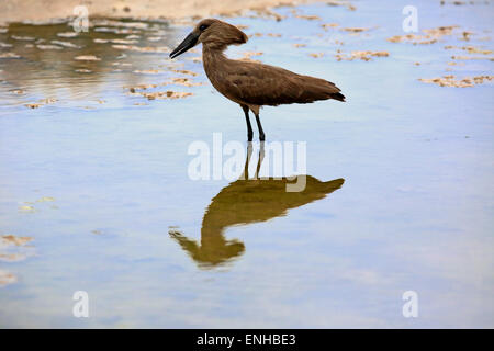 Hamerkop (Scopus umbretta), adult, in water, foraging, Kruger National Park, South Africa - Stock Photo