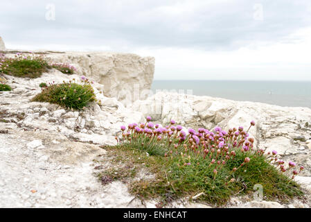 Purple flowers of Sea Thrift on the chalk cliff tops at Seaford, East Sussex - Stock Photo