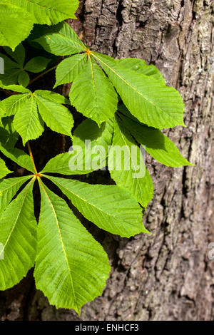 Horse chestnut leaves on a tree trunk - Aesculus hippocastanum, Czech Republic - Stock Photo