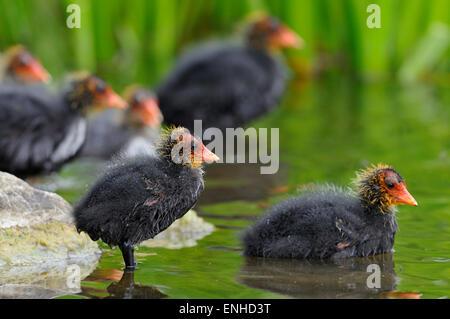 Eurasian Coots (Fulica atra), chicks in shallow water, North Rhine-Westphalia, Germany - Stock Photo