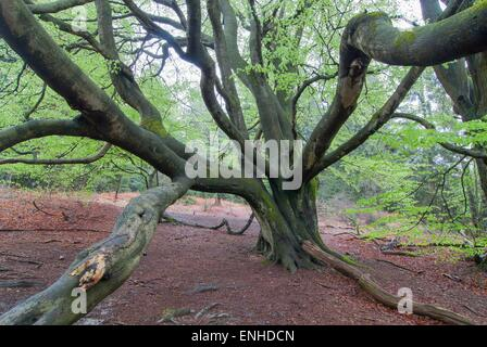 Old beech tree (Fagus sp.) with snakelike branches, Primeval Forest Sababurg, Hesse, Germany - Stock Photo