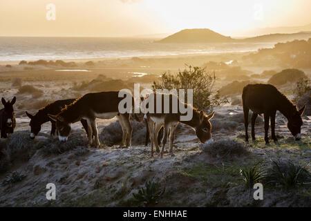 Wild donkeys at Golden Beach, Karpaz Peninsula, Northern Cyprus - Stock Photo