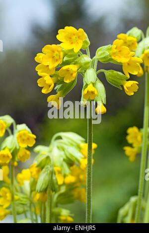 Cowslip (Primula veris) May,Ireland - Stock Photo