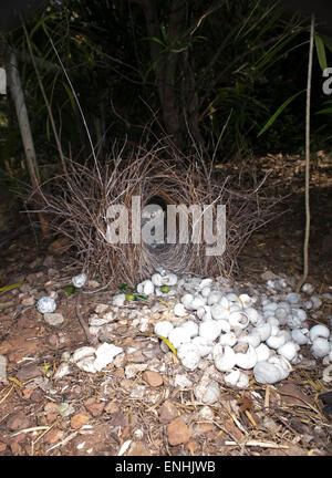 Bower of the Great Bowerbird (Chlamydera nuchalis) with shells, Kimberley, Western Australia, WA, Australia - Stock Photo