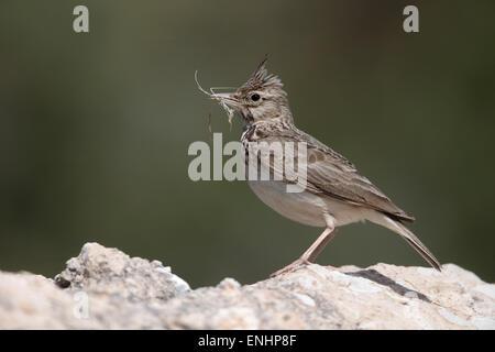 Crested lark, Galerida cristata, single bird on rock, Cyprus , April 2015 - Stock Photo