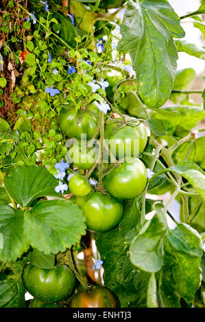 Green tomatoes growing on the branches in the garden. - Stock Photo