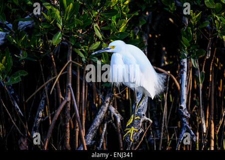 snowy egret, egretta thula - Stock Photo