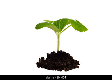 Young seedling plant in soil and isolated on white. - Stock Photo
