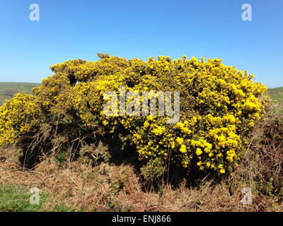 Gorse Bush In Bloom Golden Yellow Flowers The Foreground