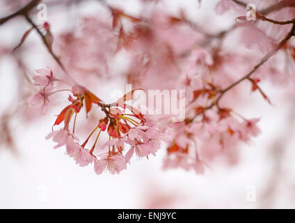 Close-up of Cherry Blossoms in the spring - Stock Photo