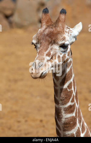 Portrait view of a young Reticulated Giraffe head and Neck - Stock Photo